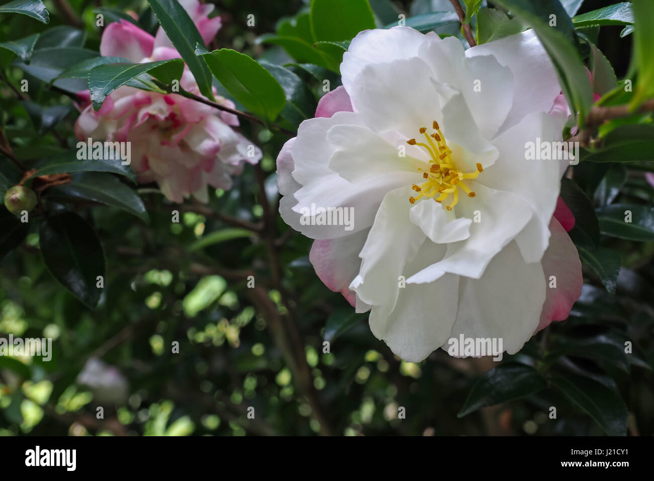 Bright white camellia flowers with pink and red edging on the tree bright white camellia flowers with pink and red edging on the tree surrounded by deep green leaves mightylinksfo