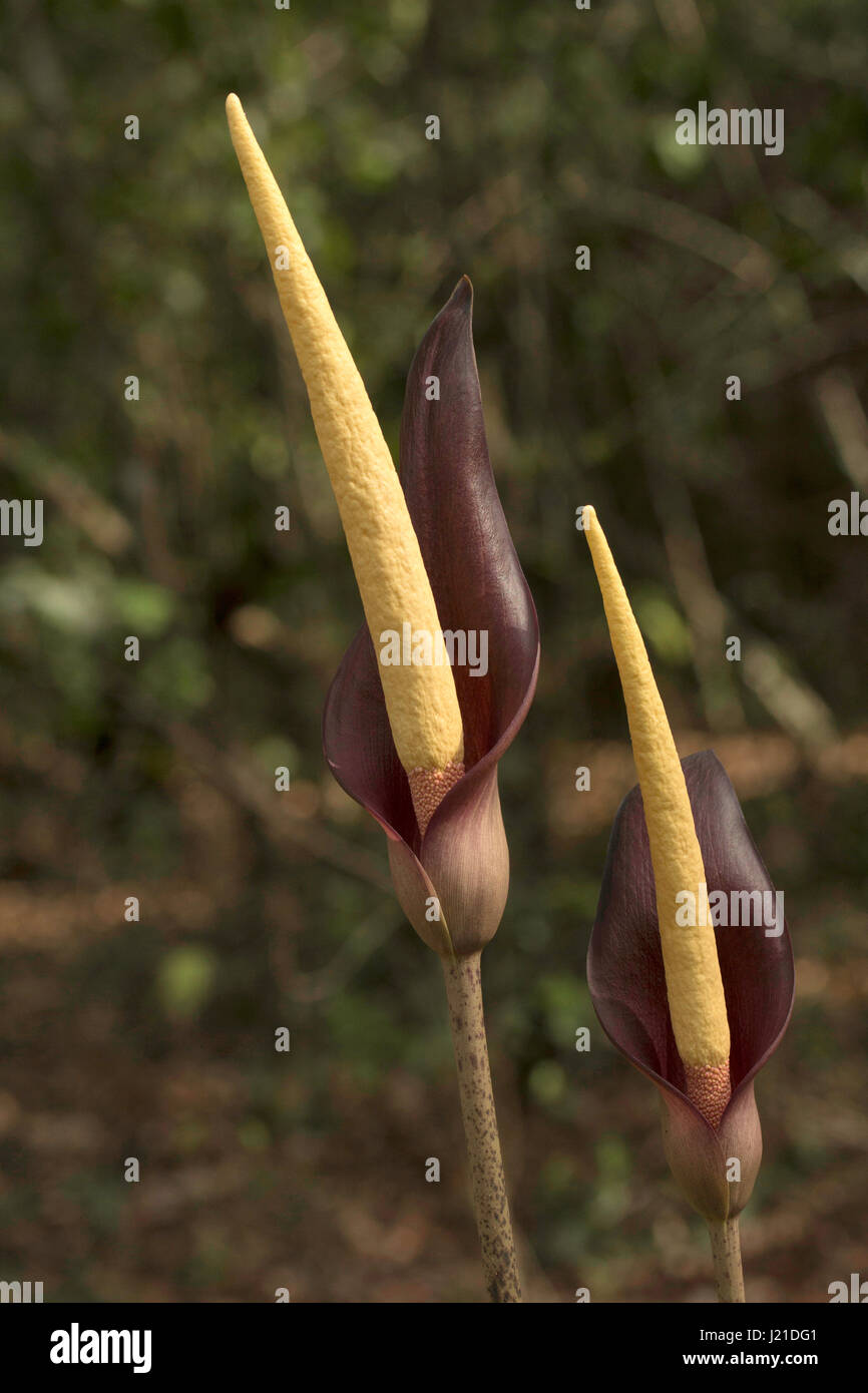 Spadix, Arum sp , Goa, INDIA. Spadix is a type of inflorescence commonly found in Family Araceae of monocots. The - Stock Image