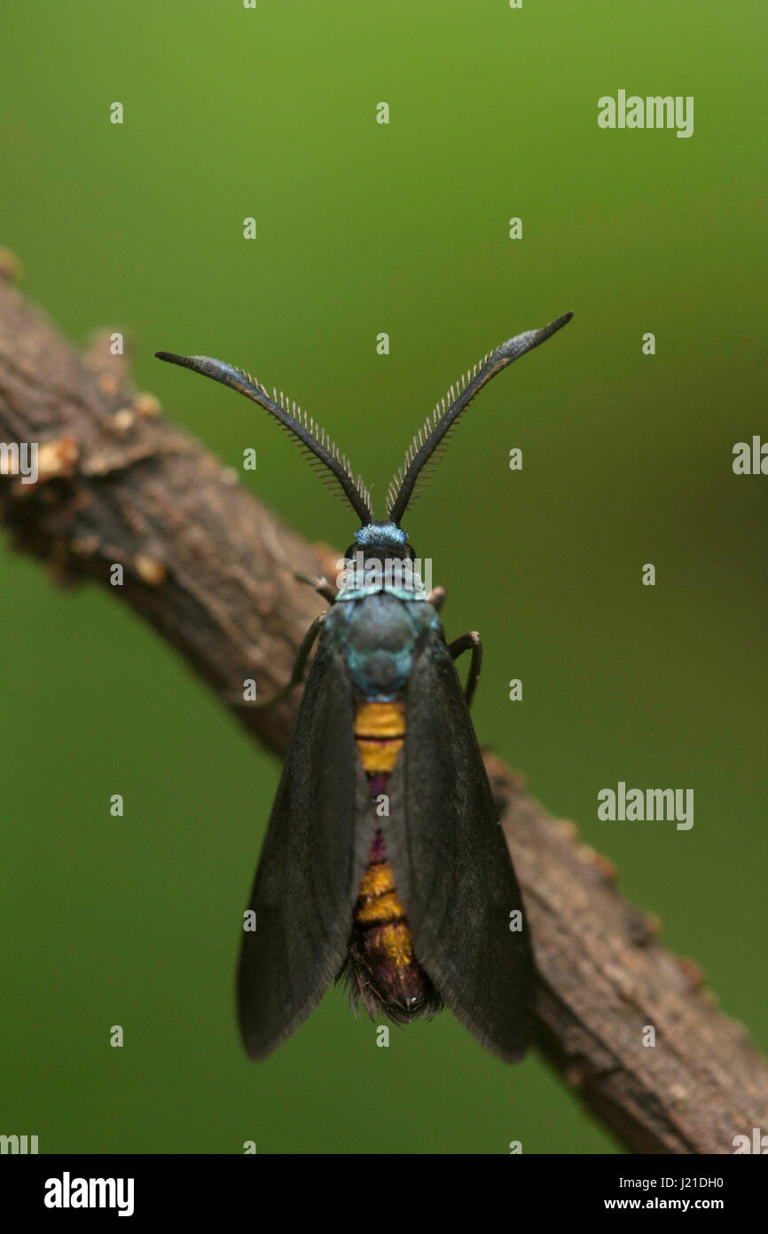 Moth , Unidentified , Aarey Milk Colony , INDIA. The moths are among the most widely studied lepidopterans in the - Stock Image