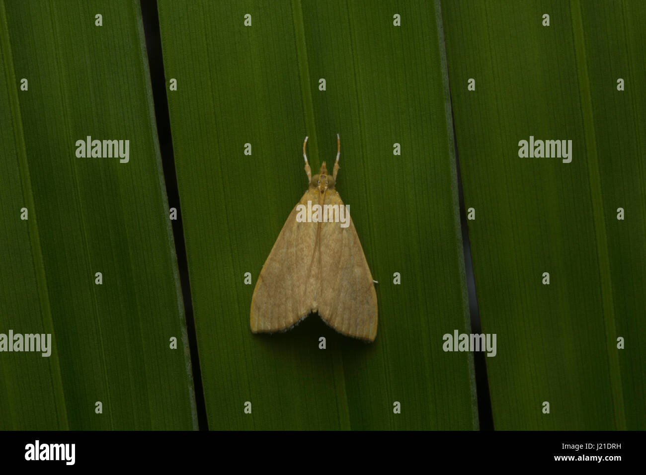 Moth , Aarey Milk Colony , INDIA. The moths are among the most widely studied lepidopterans in the world. Ranging - Stock Image
