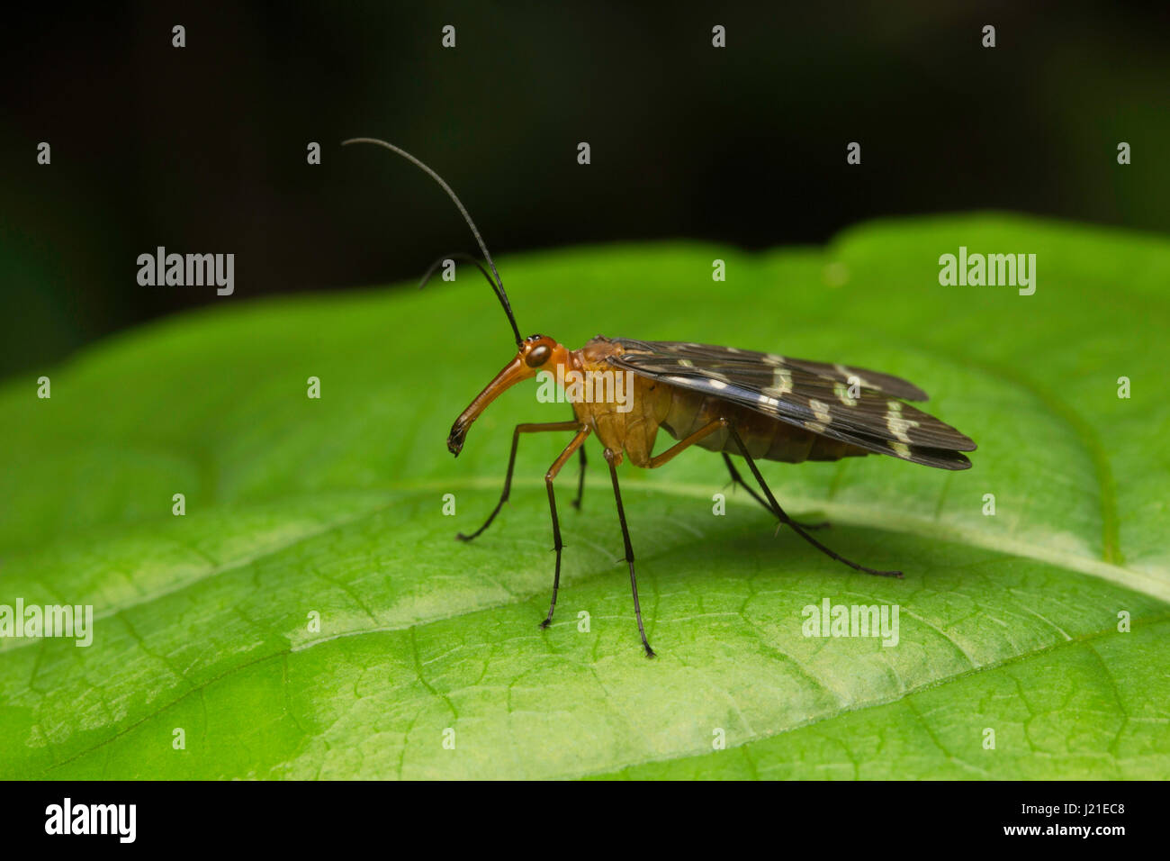 Scorpion fly , Aarey Milk Colony , INDIA. Scorpion flies are so called due to the males of one family Panorpidae - Stock Image