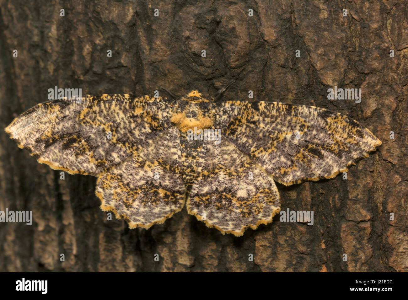 Moth , Aarey Milk Colony , INDIA. The moths are among the most widely studied lepidopterans in the world - Stock Image