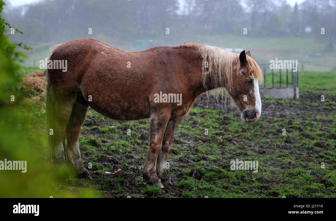 Ainsworth, Lancashire, UK. 24th April, 2017. A very wet start to the week for this horse in Ainsworth, Lancashire, - Stock Image