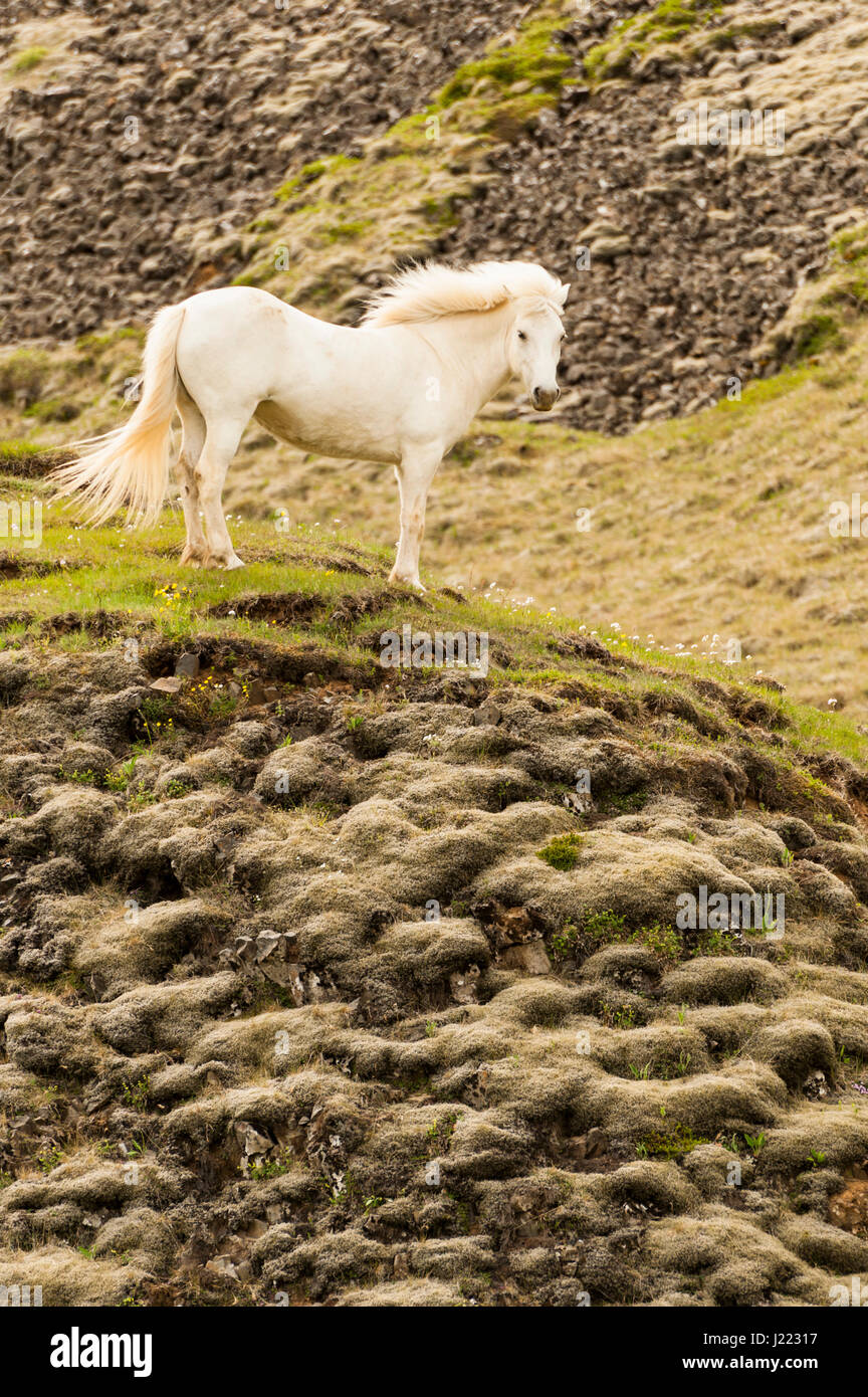 A white Icelandic horse proudly standing on a lava mound, open space, looking at the camera, portrait, freedom, - Stock Image