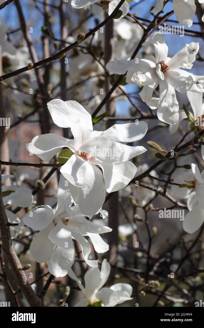 early spring in a city garden. an eruption of brilliant white flowers on a Star Magnolia bush. blue sky, branches - Stock Image