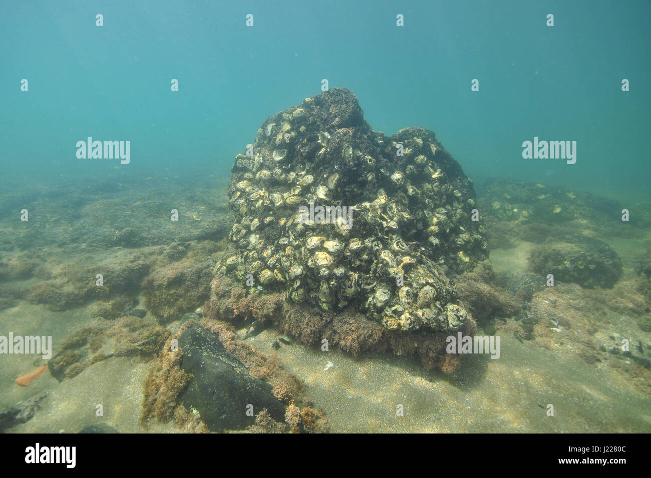 Dark volcanic rock covered with Pacific oyster shells on flat bottom in tidal zone near shore. - Stock Image