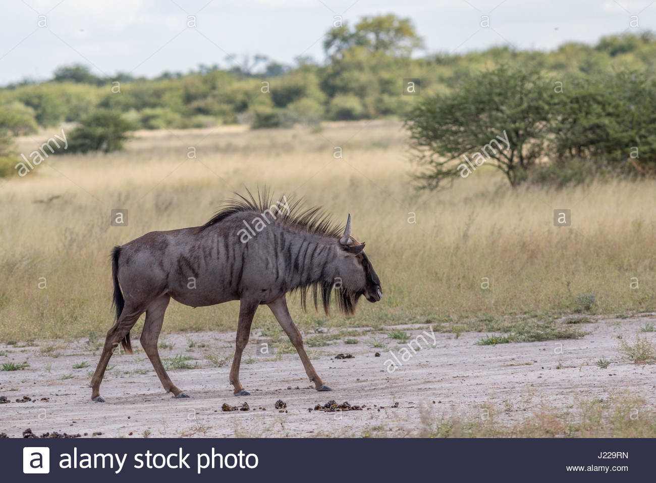 A Wildebeest (Gnu) occupies the bush road in the Nxai Pan National Park, Botswana - Stock Image