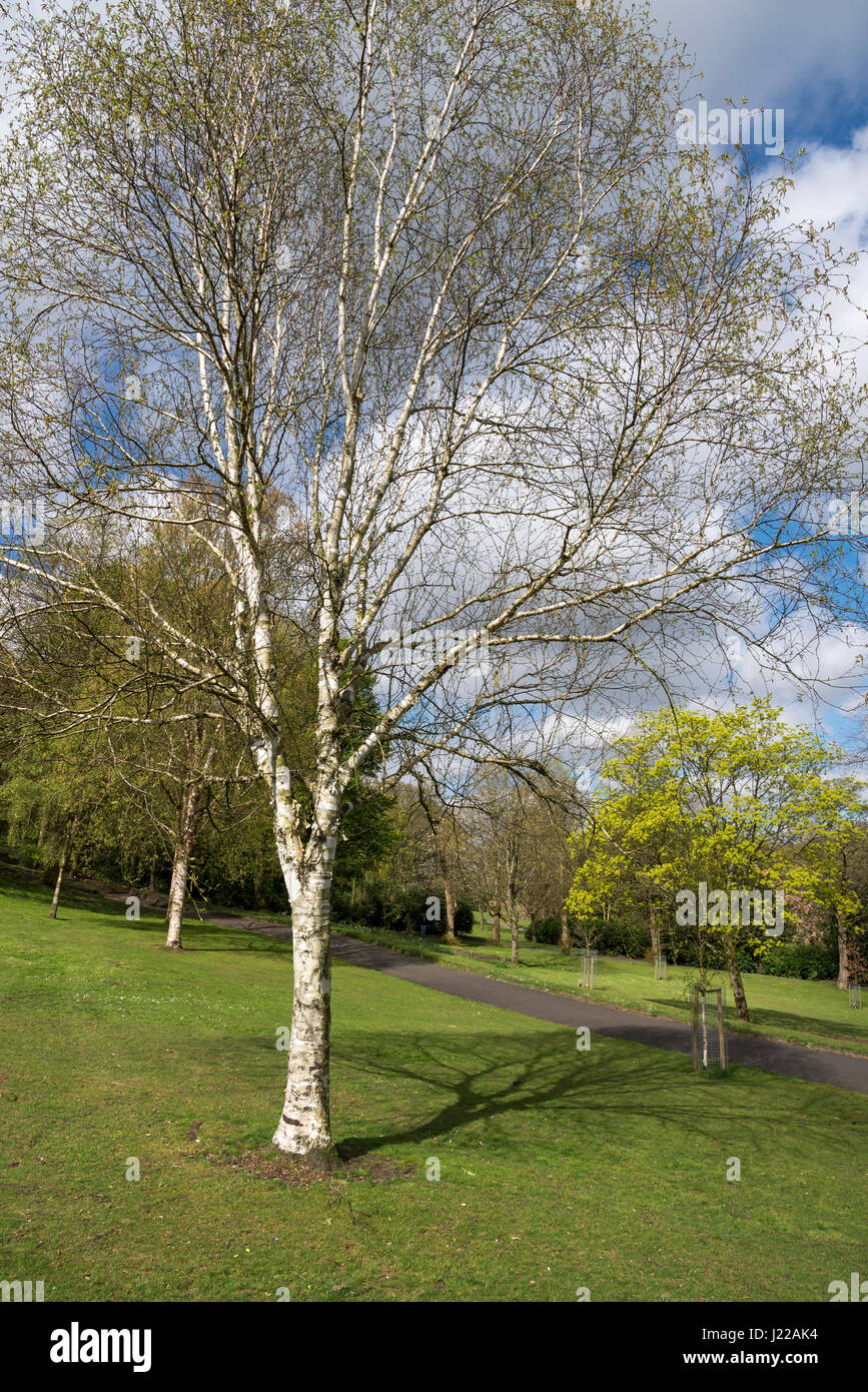 Silver Birch tree in spring sunshine at Cheetham park, Stalybridge, Greater Manchester - Stock Image