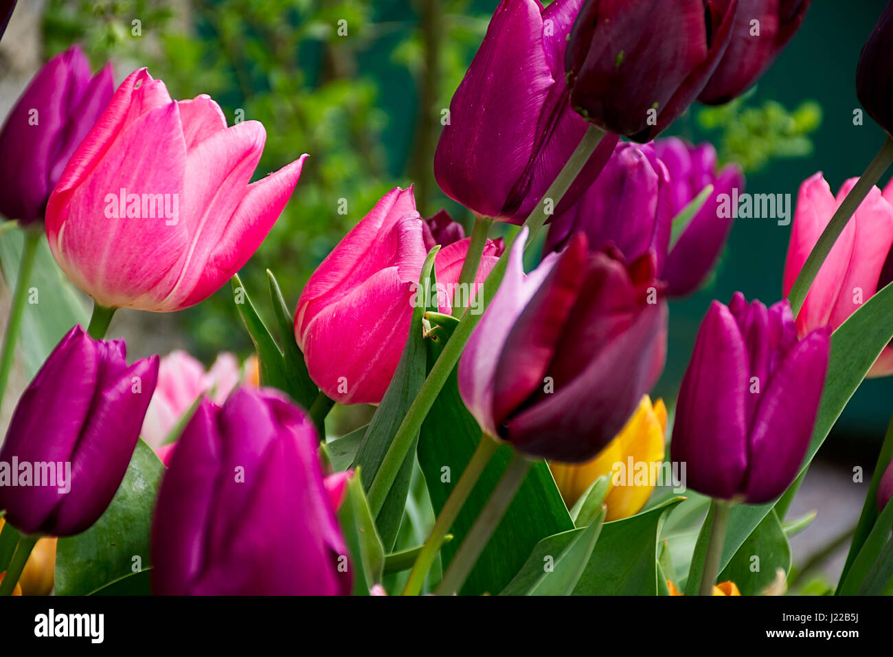 Blossoming Burgundy Flowers Stock Photos Blossoming Burgundy