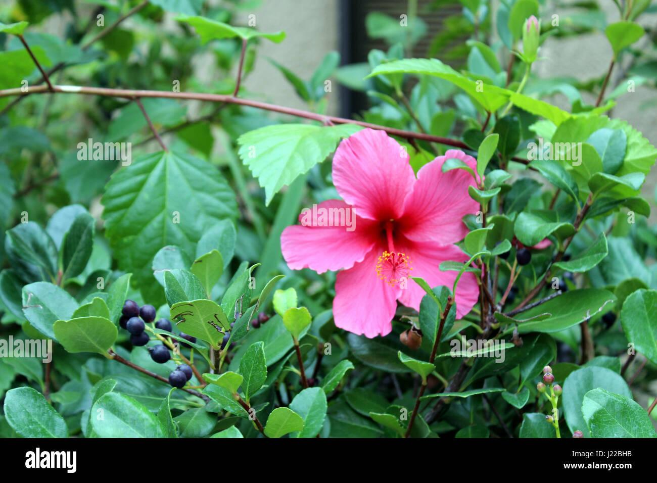 Pink Hibiscus Flower In Garden Stock Photos & Pink Hibiscus Flower ...