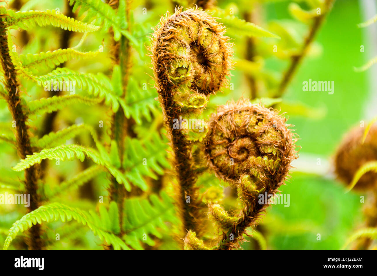 Fern unrolling a new frond. New growth in spring. Ferns renewal. Rebirth. - Stock Image