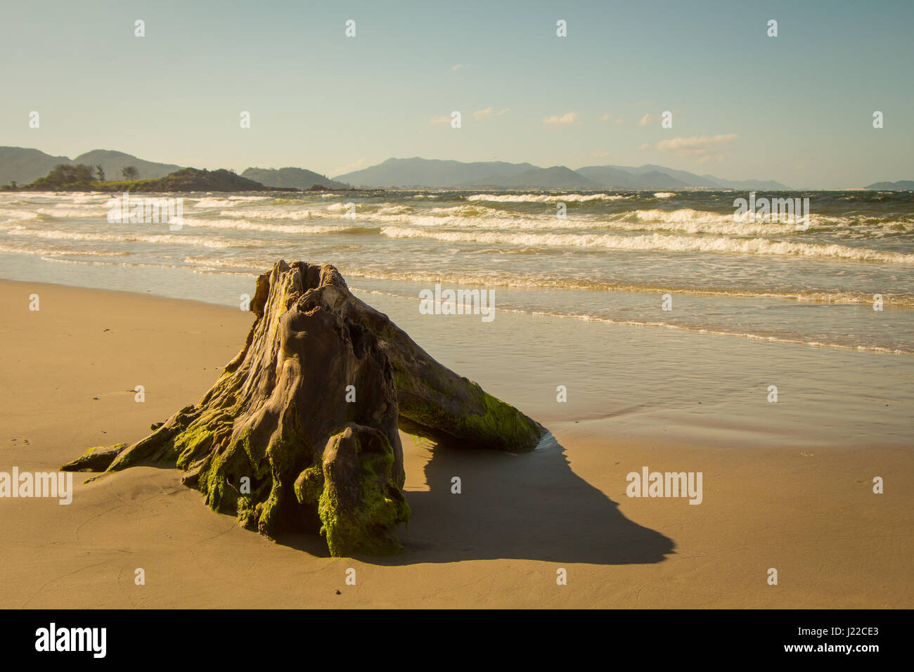 Old trunk brought by the sea rests in the sand of Matadeiro beach, in Florianopolis, Brazil. - Stock Image
