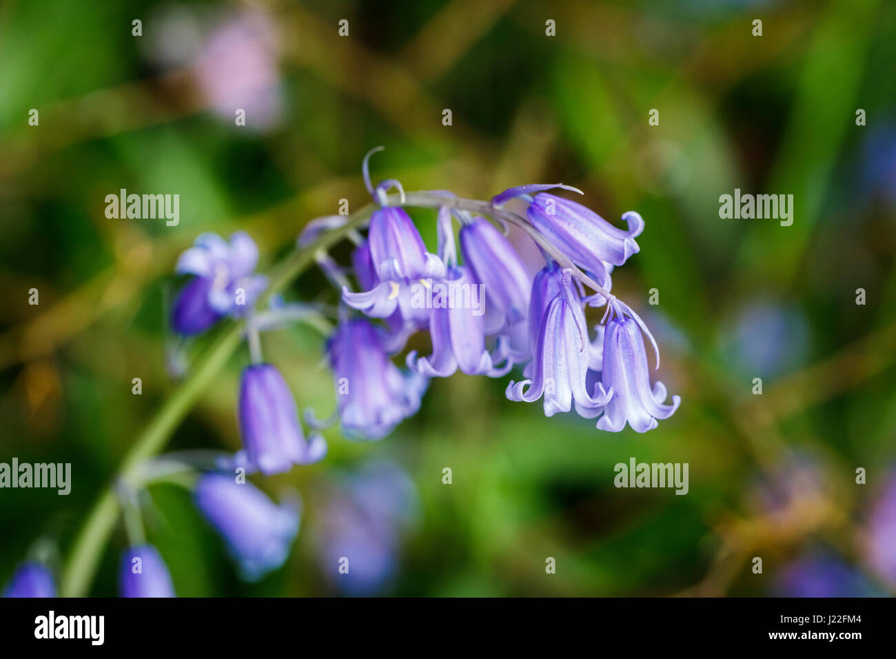 Inflorescence of tepals of Endymion non-scriptus, common English bluebell, flowering in a British garden in spring - Stock Image