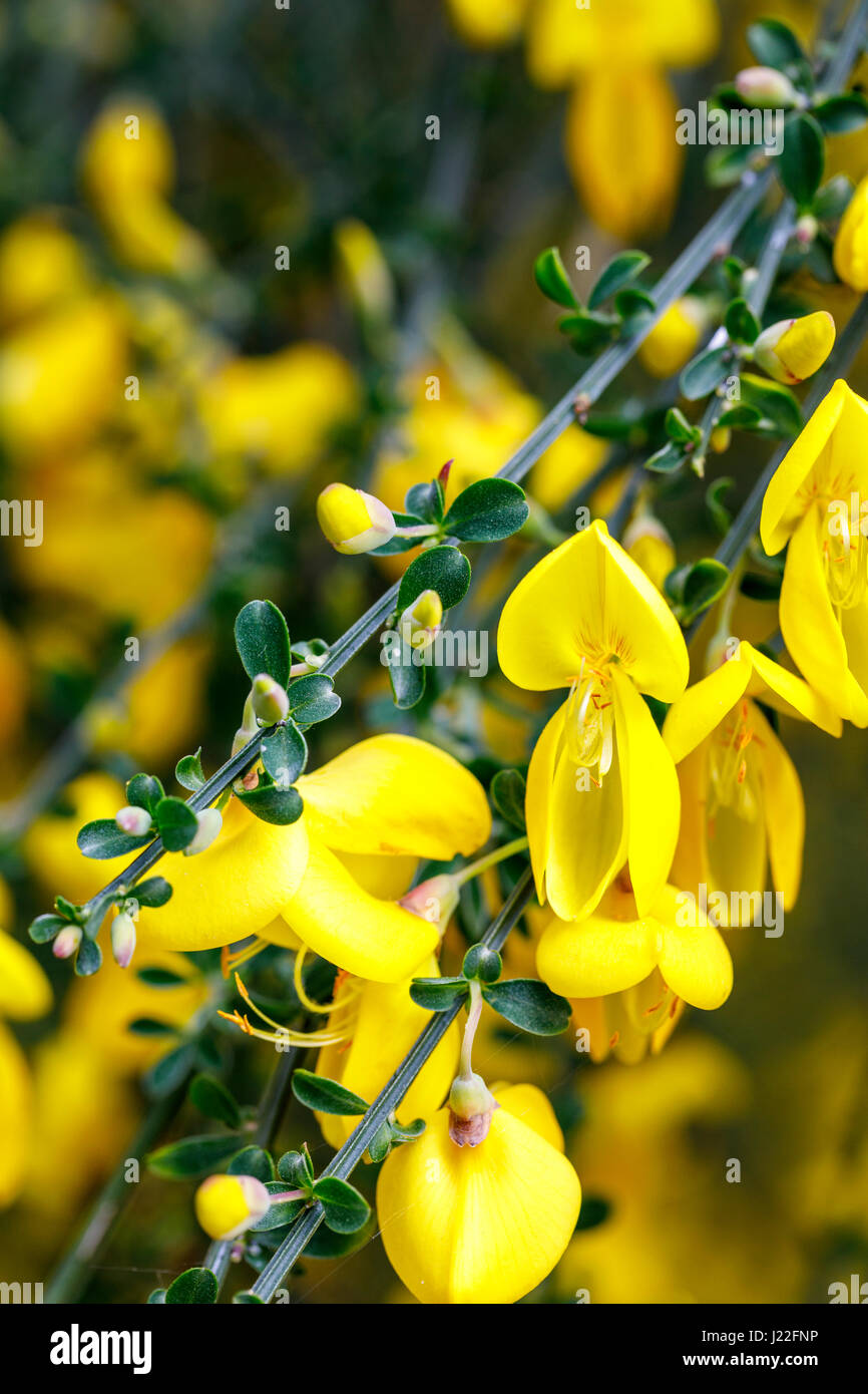 Bright yellow spring flowering broom bush blooming as an ornamental bright yellow spring flowering broom bush blooming as an ornamental shrub in a garden in surrey south east england in springtime mightylinksfo