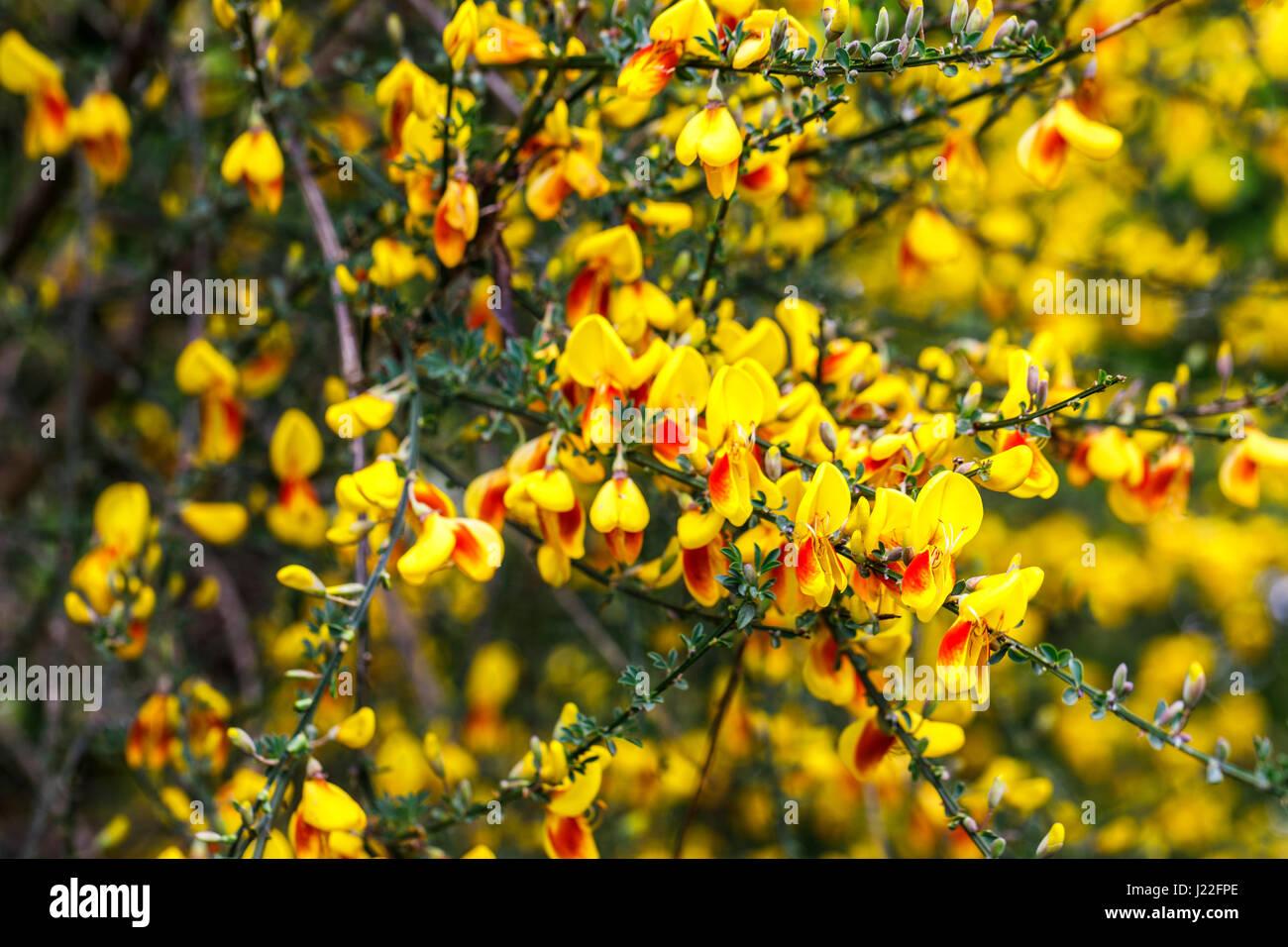 Yellow And Orange Spring Flowering Broom Bush Blooming As An Stock