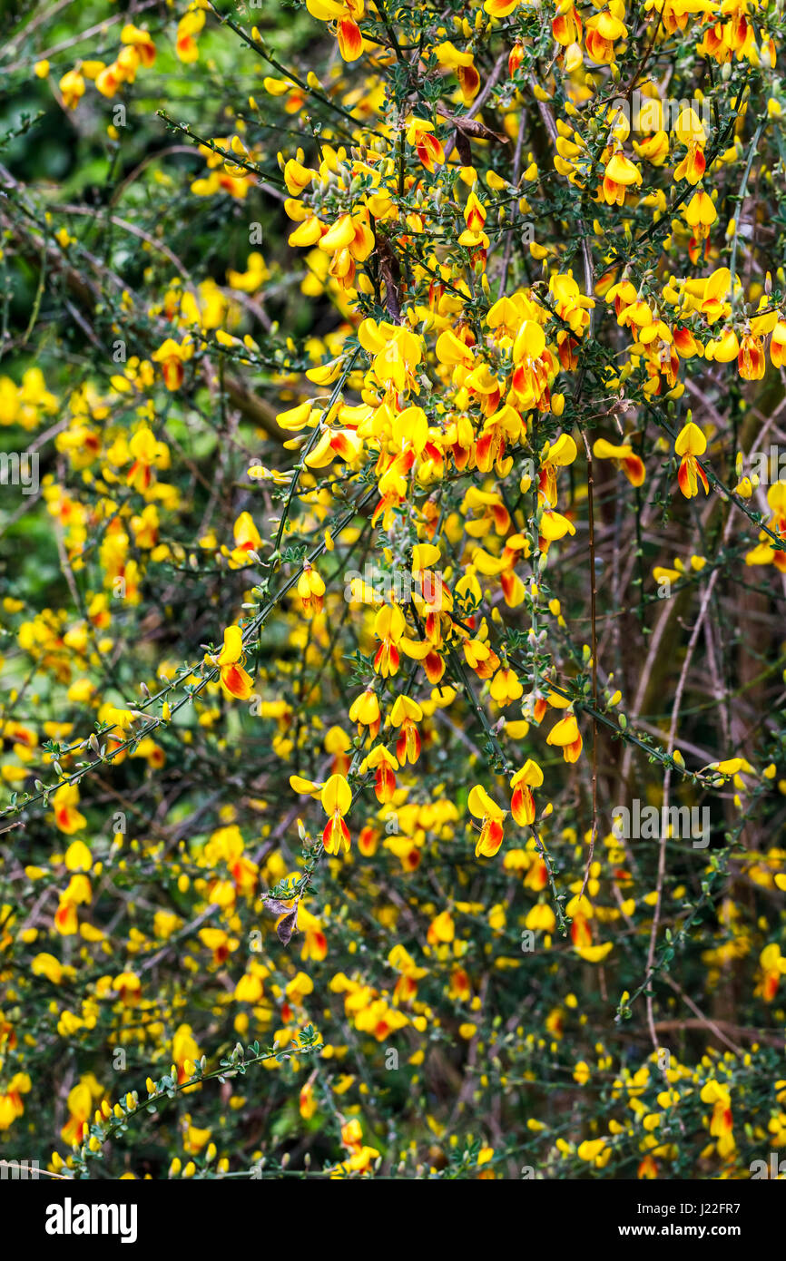 Yellow and orange spring flowering broom bush blooming as an stock yellow and orange spring flowering broom bush blooming as an ornamental shrub in a garden in surrey south east england in springtime mightylinksfo