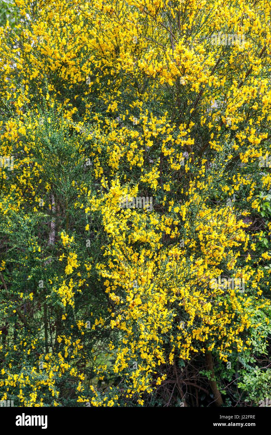 Bright Yellow Spring Flowering Broom Bush Blooming As An