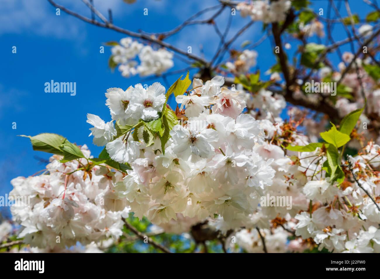 Ornamental White Flowering Cherry Tree Blossom Malus In Flower