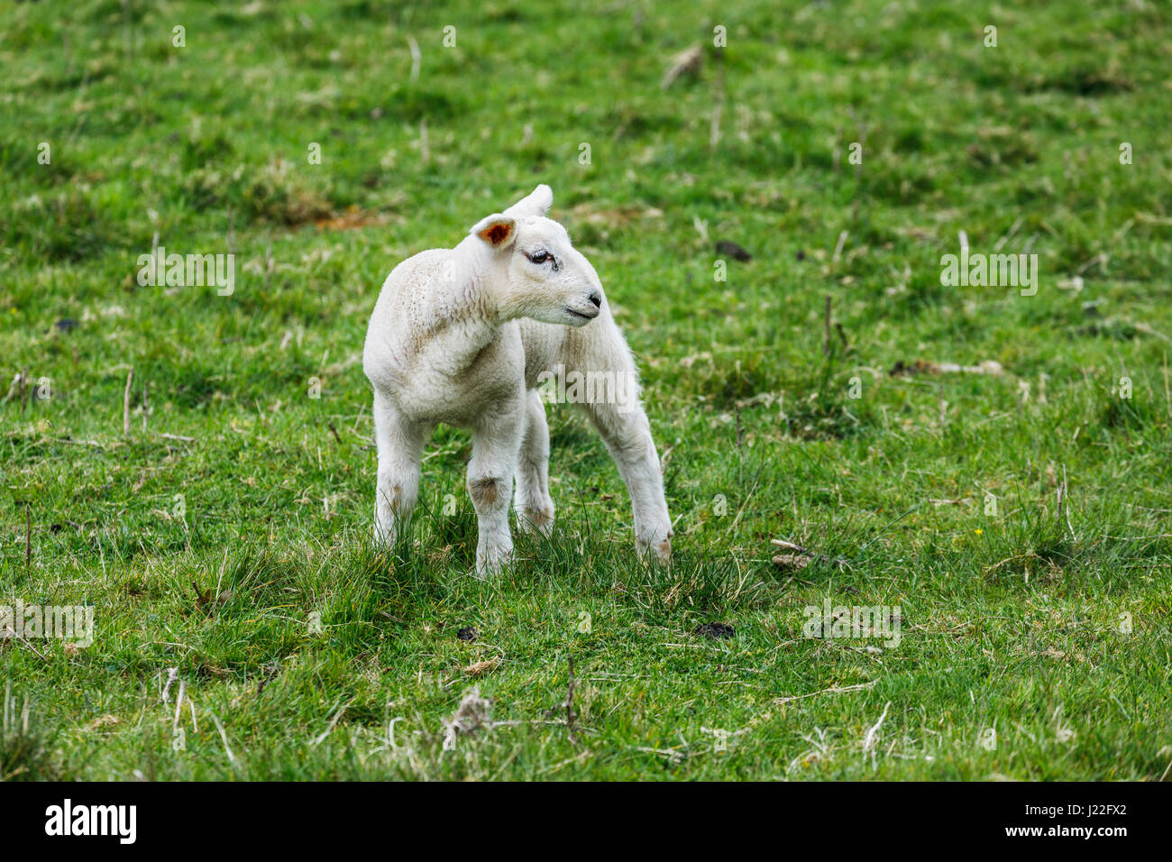 Livestock farming industry in the UK, lambing season: cute white spring lamb standing in a field in rural Gloucestershire, south-west England Stock Photo