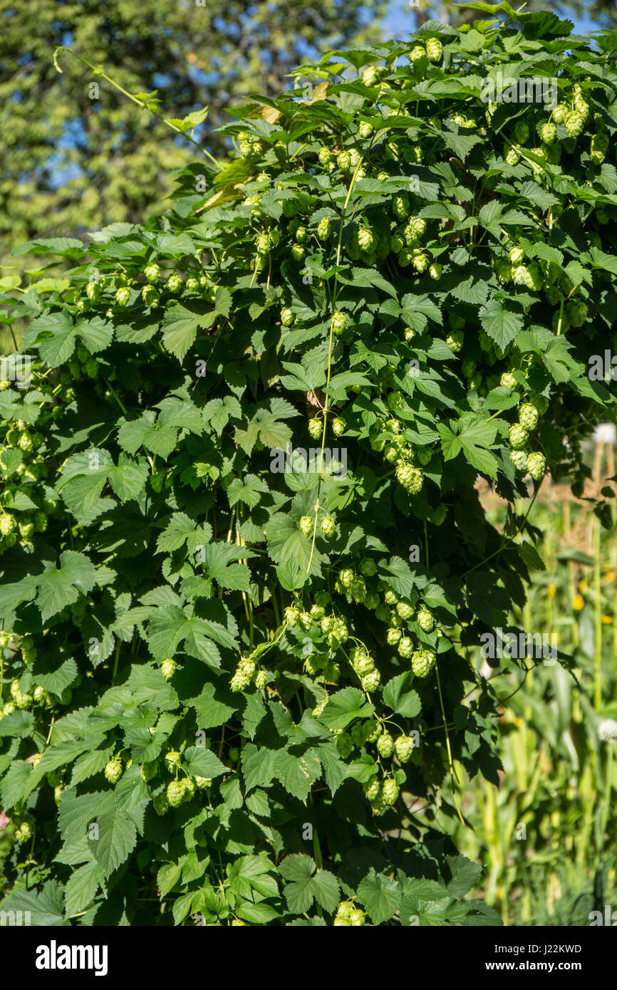 Hops plant growing on a trellis in Bellevue, Washington, USA.  Hops are the female flowers (seed cones, strobiles) - Stock Image