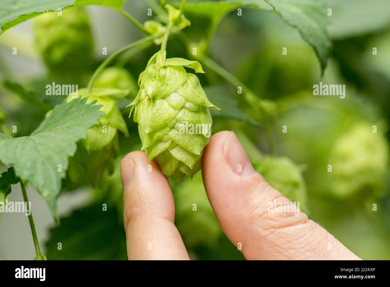 Close-up of hops cones in Issaquah, Washington, USA.  Hops are the female flowers (seed cones, strobiles) of the Stock Photo