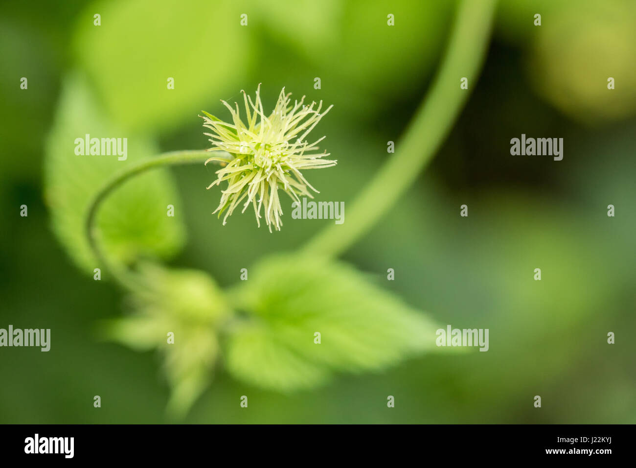 Close-up of a hops plant flowering, covered in hop aphids, in Issaquah, Washington, USA.  Hops are the female flowers - Stock Image
