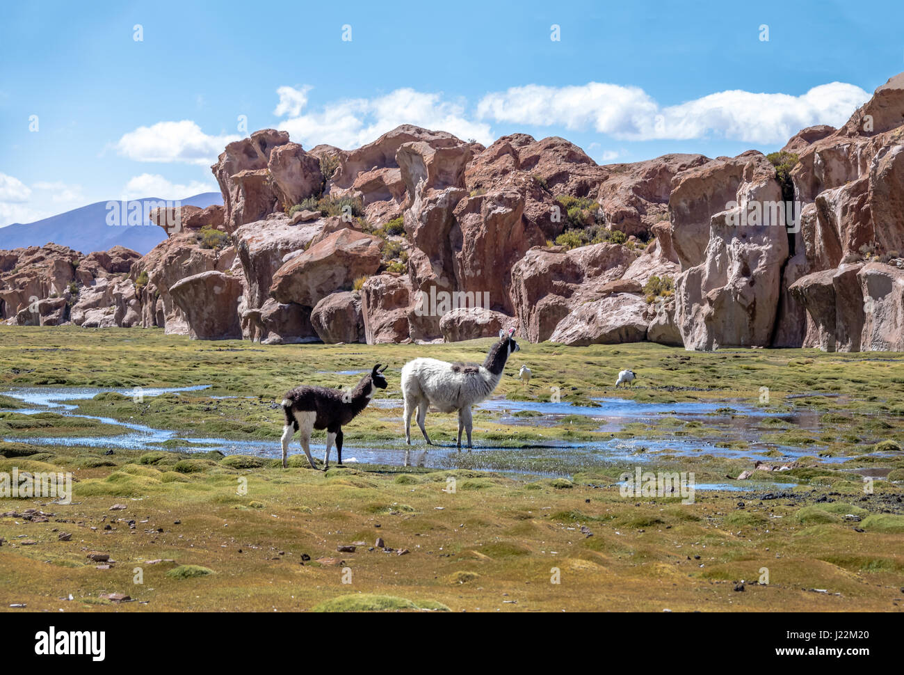 Llamas in Bolivean altiplano with rock formations on background - Potosi Department, Bolivia - Stock Image