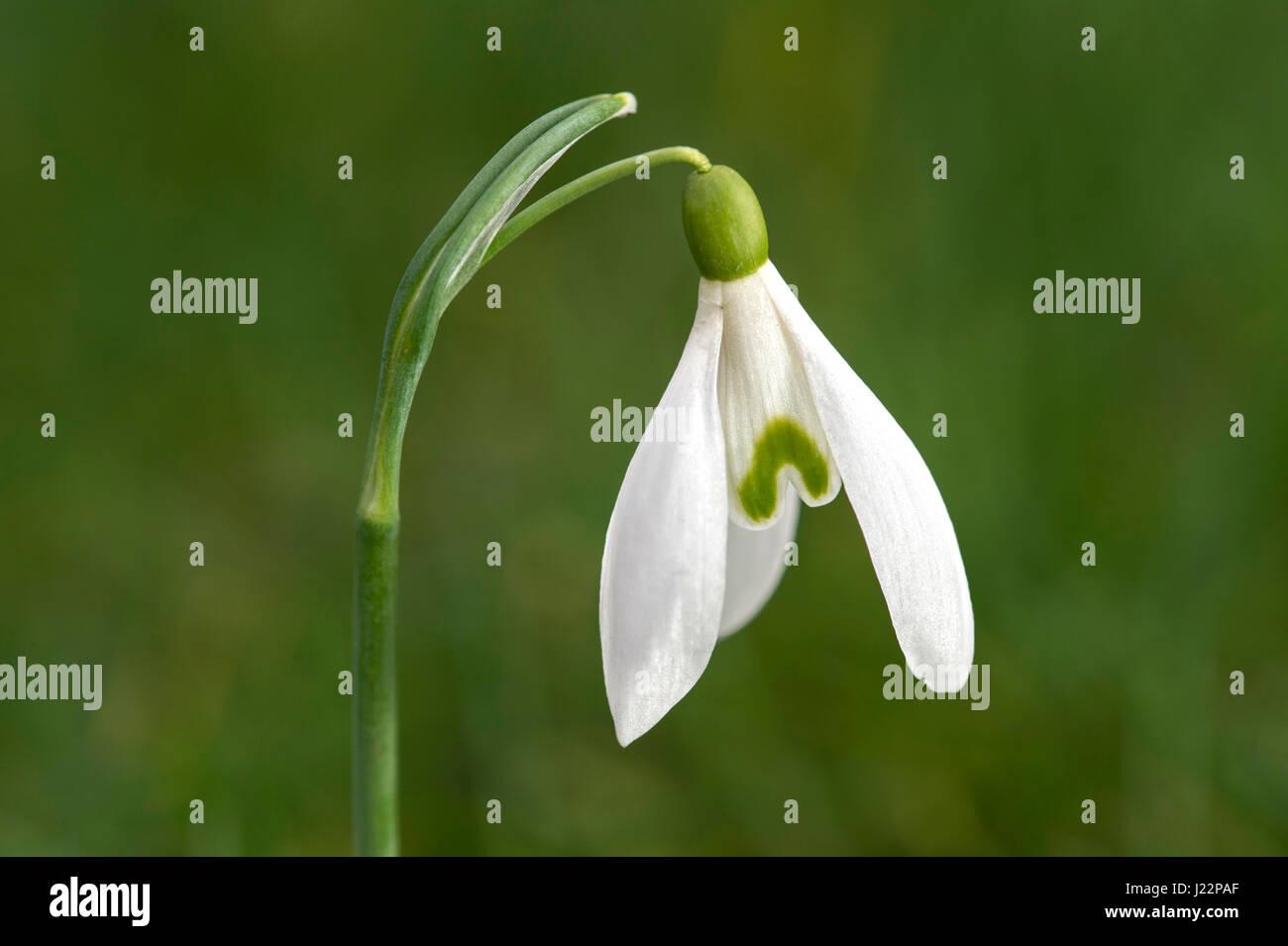 Small snowdrop (Galanthus nivalis), Switzerland - Stock Image