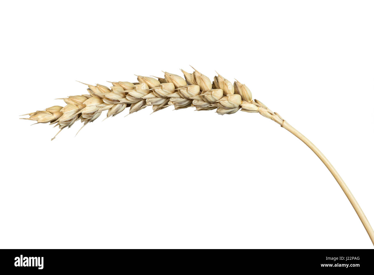 Common Wheat Triticum Aestivum Stock Photos & Common Wheat Triticum ...