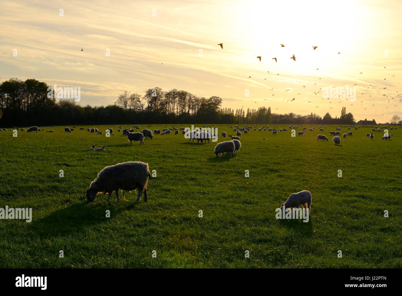 Sheep at golden hour. - Stock Image