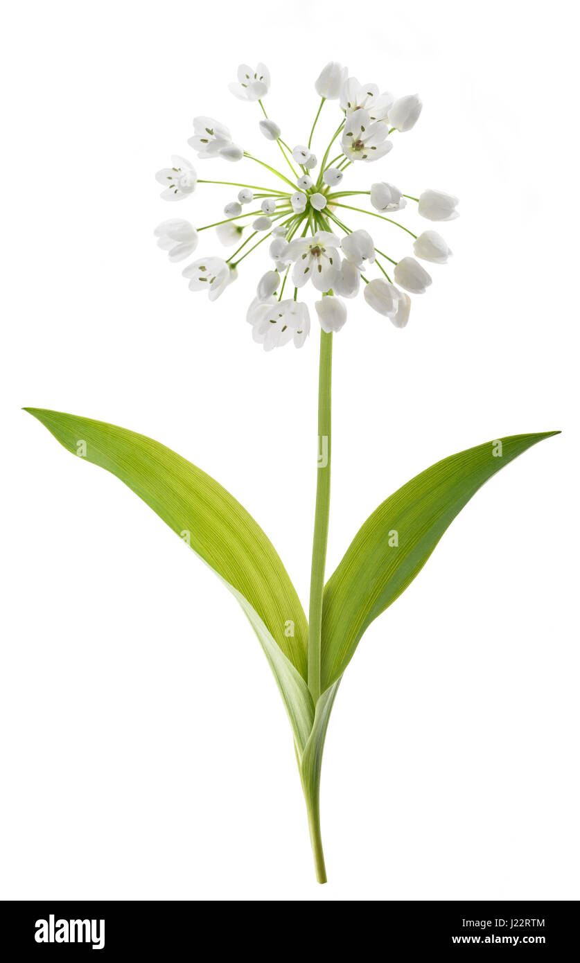 wild garlic plant isolated on white background - Stock Image