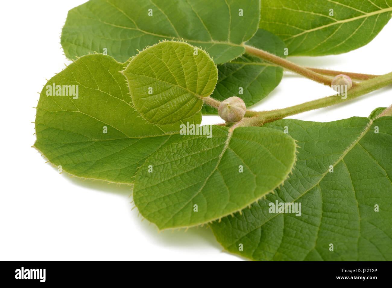 kiwi branch isolated on white background - Stock Image