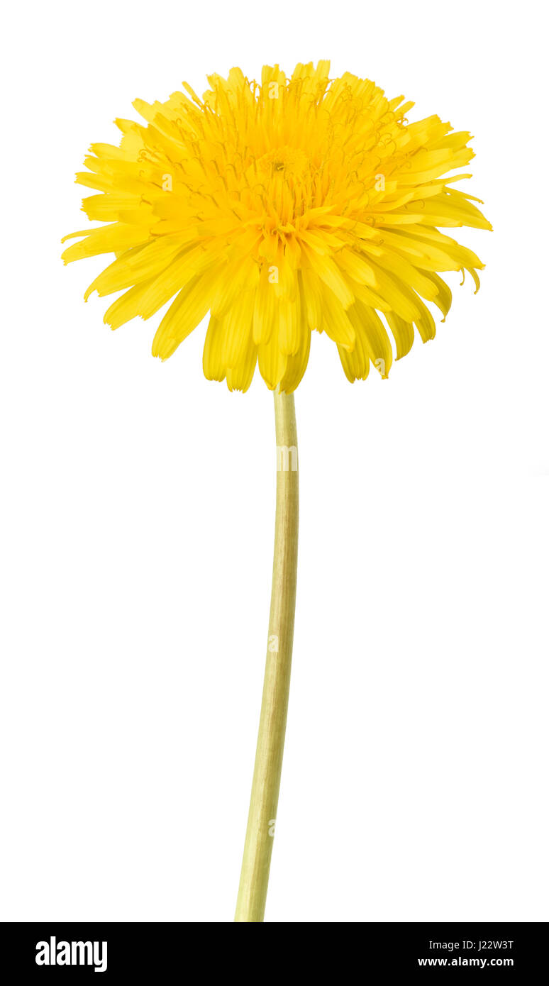 dandelion flower isolated on white background - Stock Image