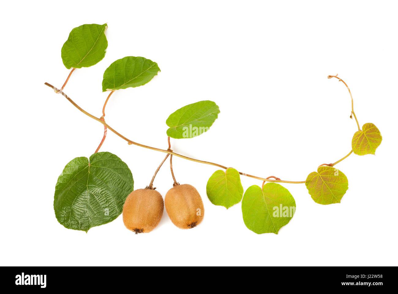 kiwi leaves and fruits  isolated on white - Stock Image