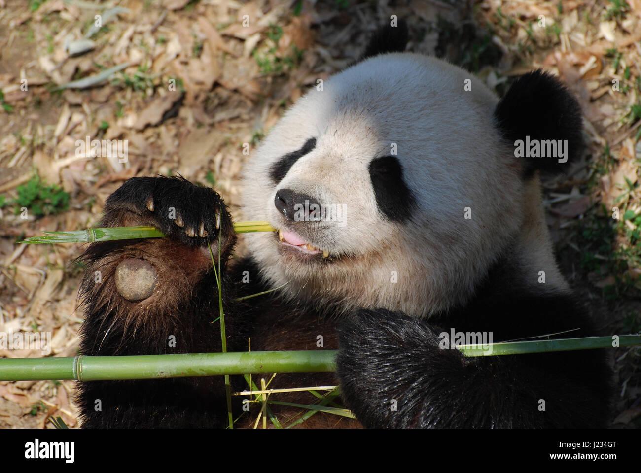 Big Panda, or Bamboo Bear: a description of where interesting facts live 87