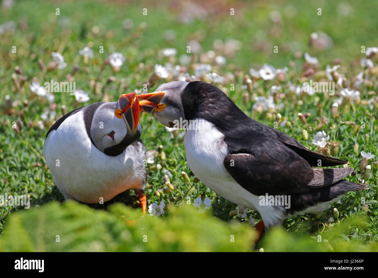 Puffins courtship display at Skoma Island, South West Wales UK - Stock Image