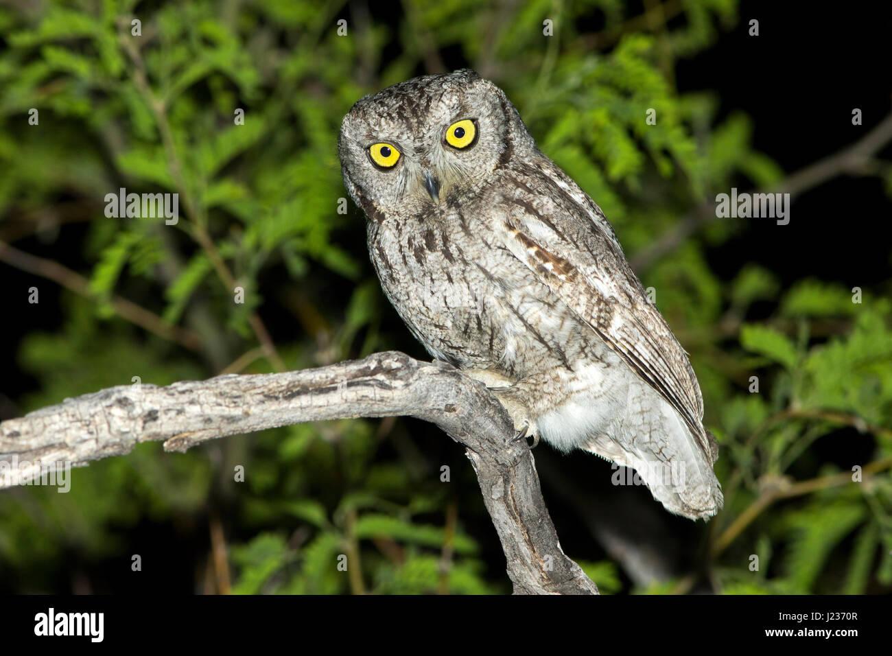 Western Screech-Owl  Megascops kennikottii Tucson, Pima County, Arizona, United States 13 April       Adult     - Stock Image