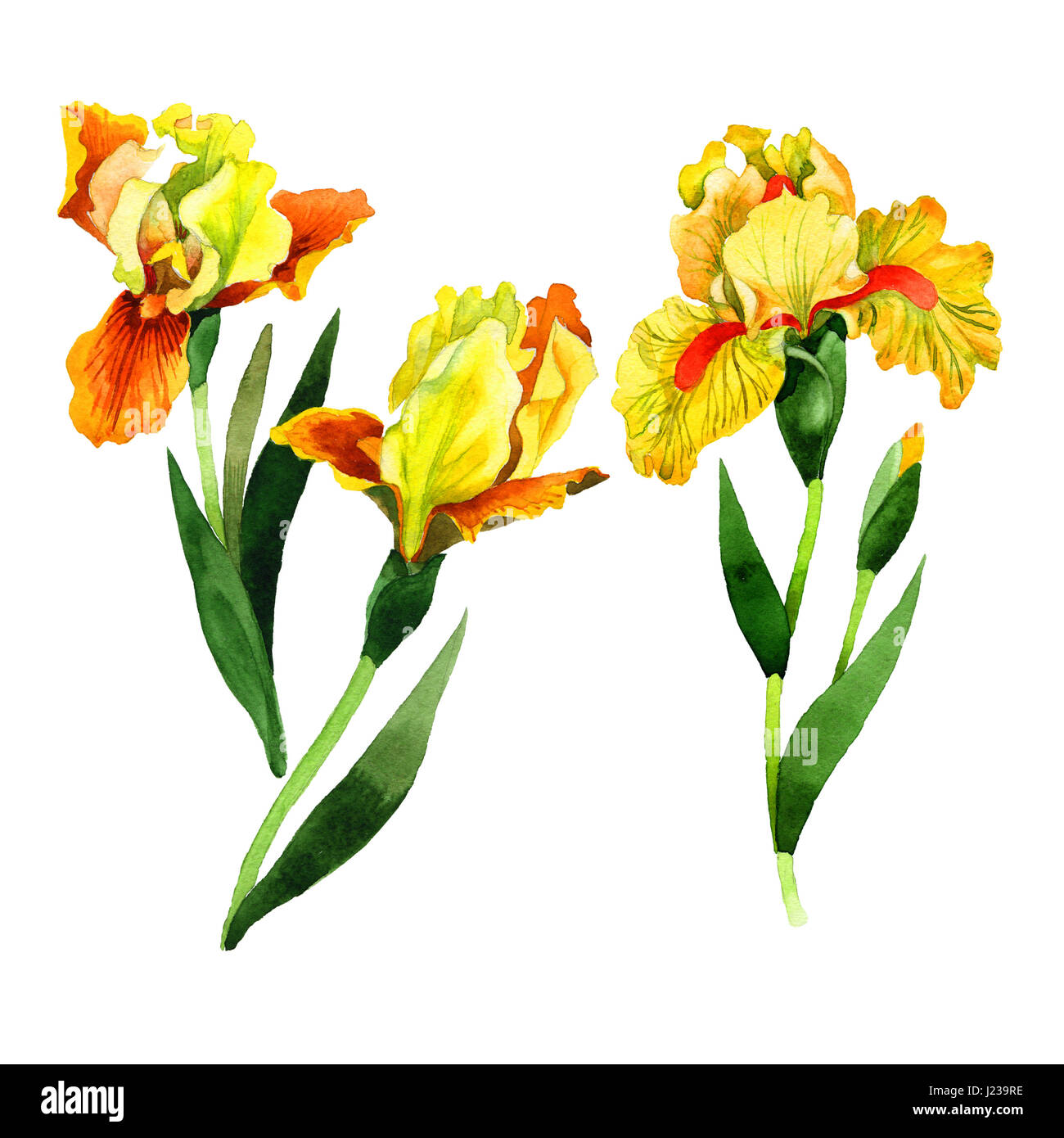 Iris flower cut out stock images pictures alamy wildflower iris flower in a watercolor style isolated full name of the plant irises izmirmasajfo