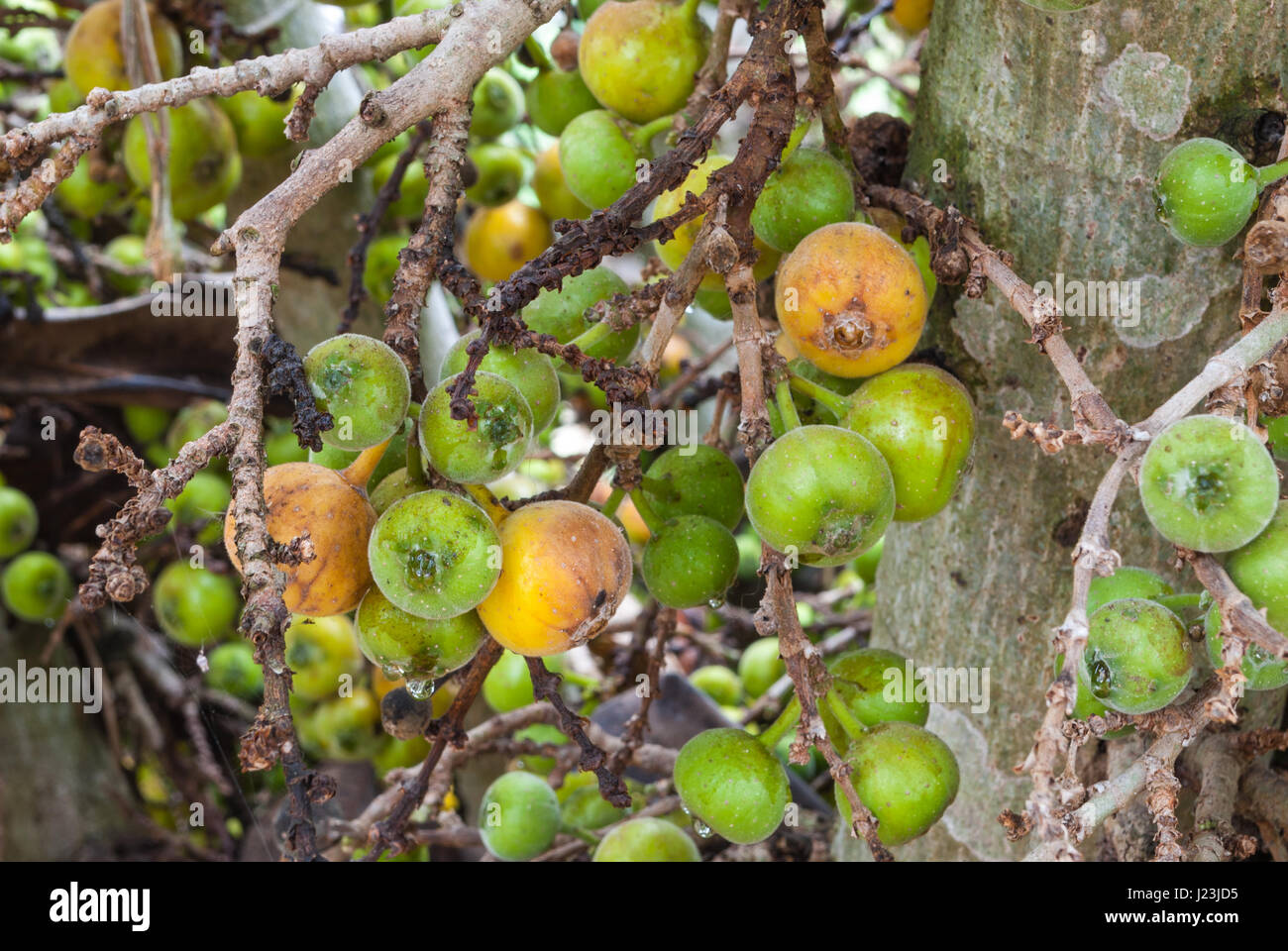 Closeup to Raw and Ripe of Cluster Fig/ Goolar (Gular)/ Ficus Racemosa L. / MORACEAE - Stock Image