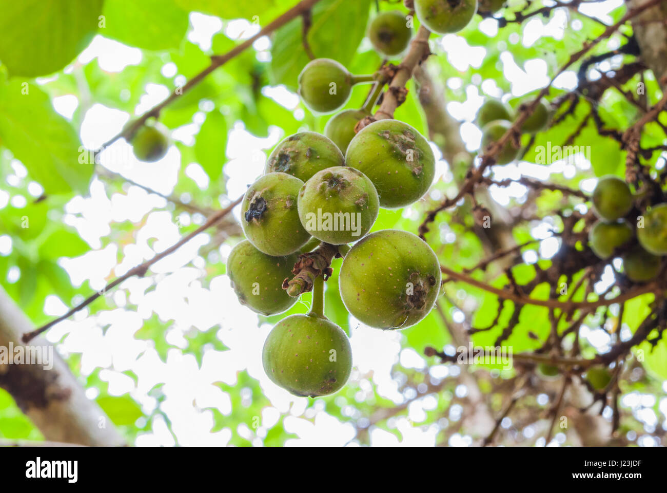 Closeup to Raw Cluster Fig/ Goolar (Gular)/ Ficus Racemosa L. / MORACEAE - Stock Image