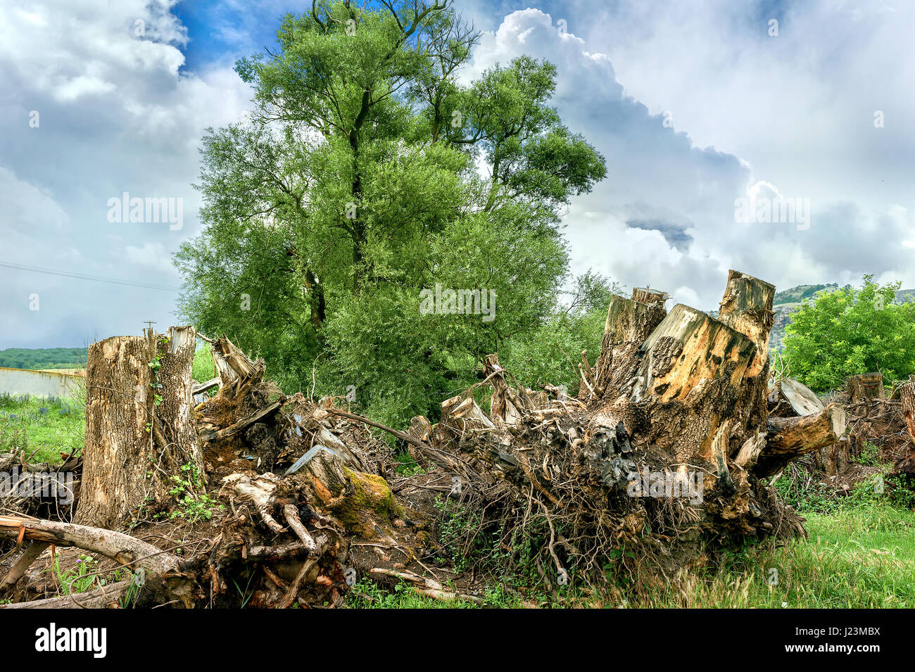 Landscape with old roots and healthy green tree. Ecology concept - Stock Image