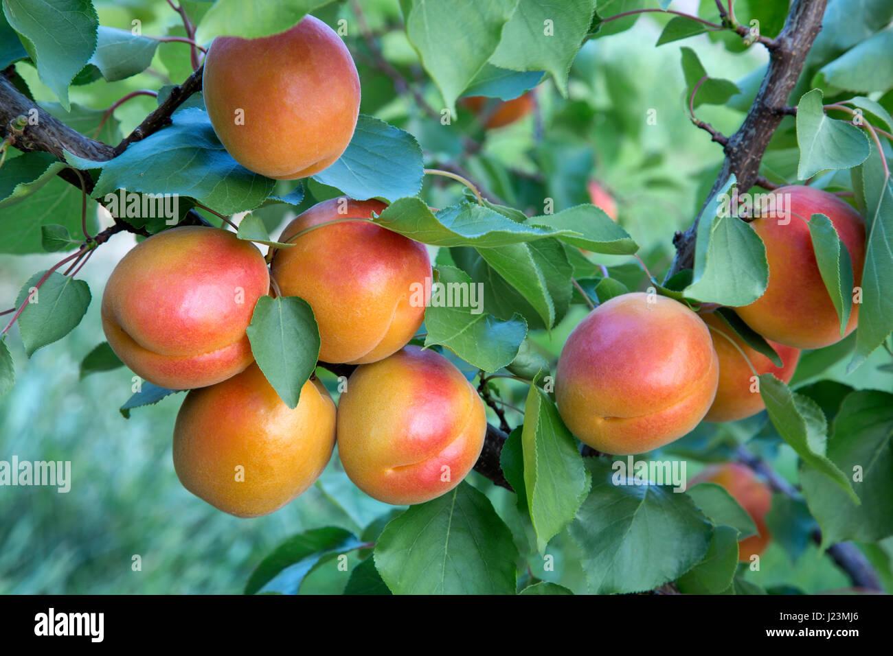 Apricots 'Robada' variety maturing on branch 'Prunus armaniaca', Washington State. - Stock Image
