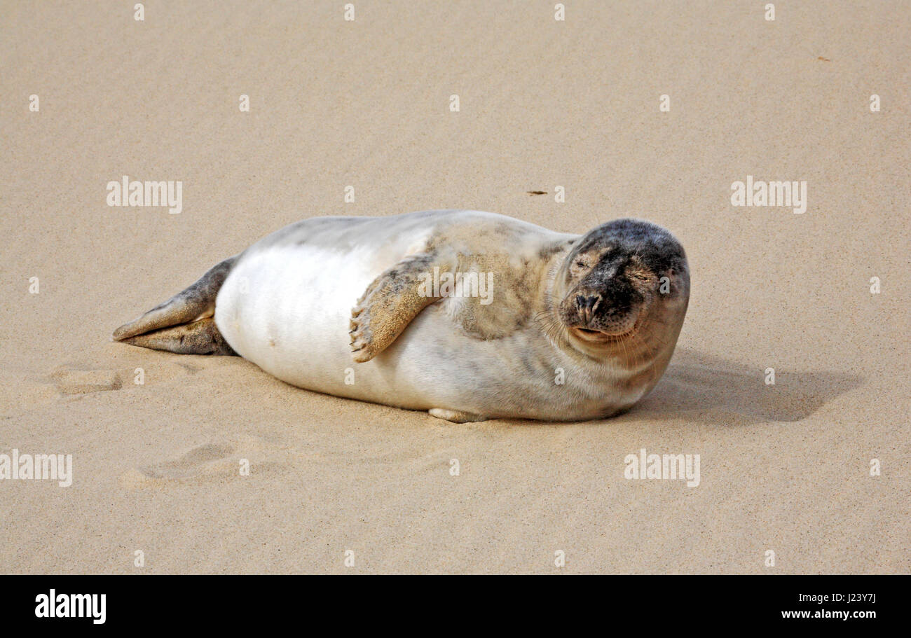 An immature Grey Seal, Halichoerus grypus, on the beach at Horsey, Norfolk, England, United Kingdom. Stock Photo