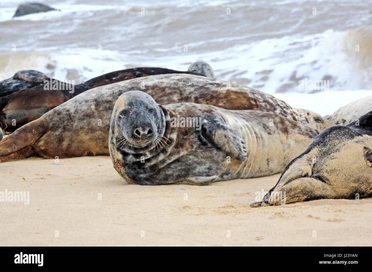 Grey Seals, Halichoerus grypus, basking on the beach at Horsey, Norfolk, England, United Kingdom. - Stock Image