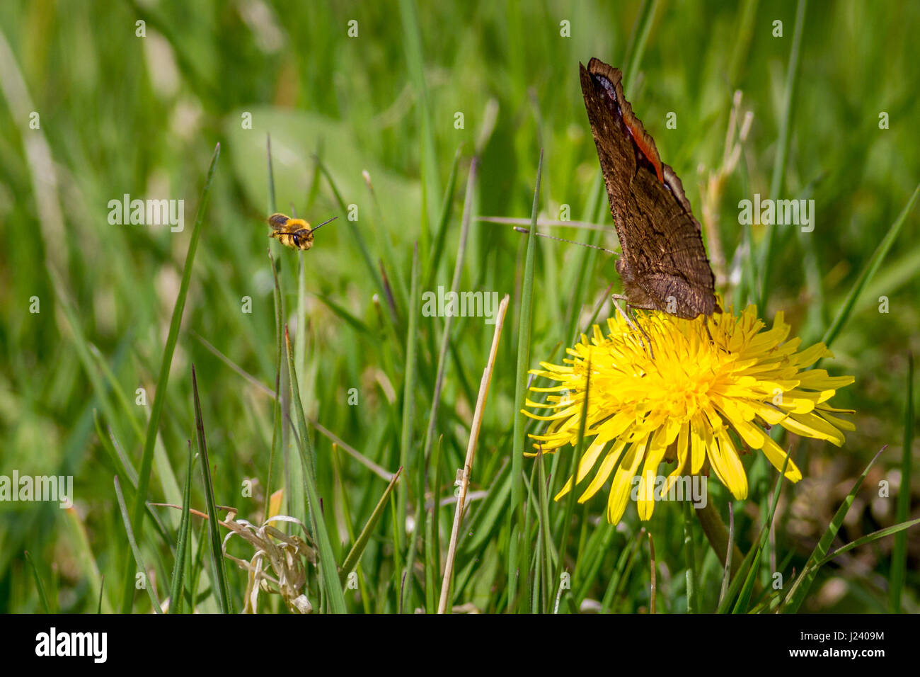 Wildlife: Bee dive bombing a peacock butterfly drinking nectar from a dandelion, Burley-in-Wharfedale, Yorkshire, - Stock Image