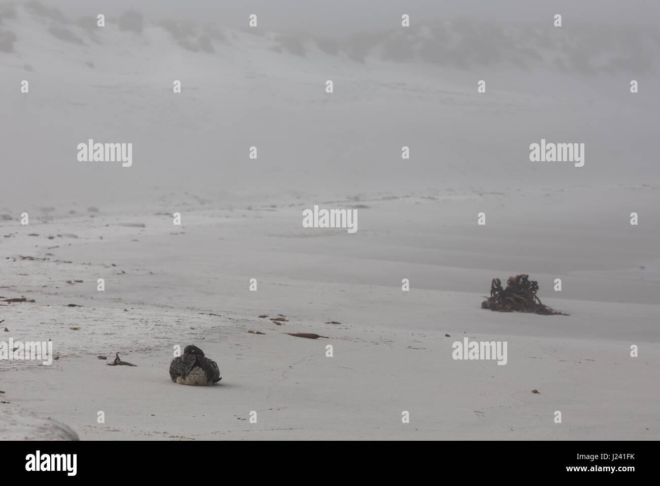 Falkland Steamer duck - Stock Image