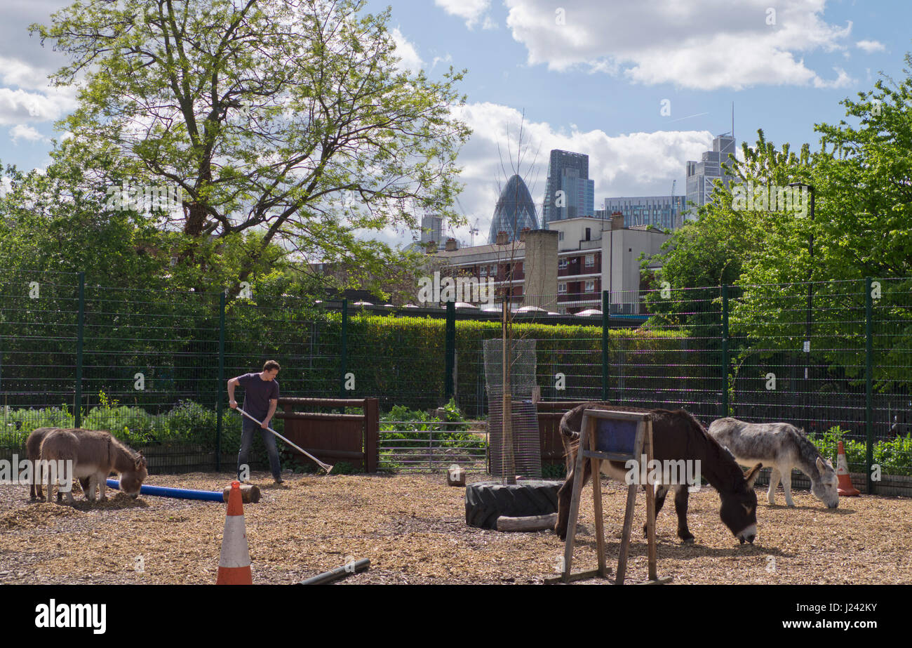 Volunteer working at the Spitalfields City Farm in east London,with views of banking City district in background,England,UK - Stock Image