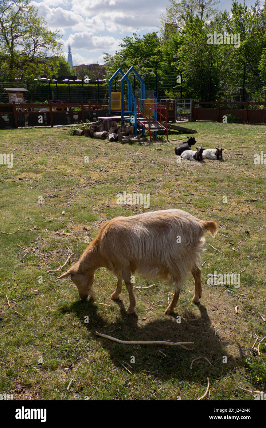 Goat at the Spitalfields City Farm in east London,with views of banking City district in background,England,UK - Stock Image