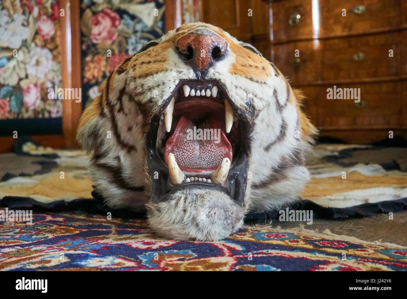 Tiger skin rug - Stock Image