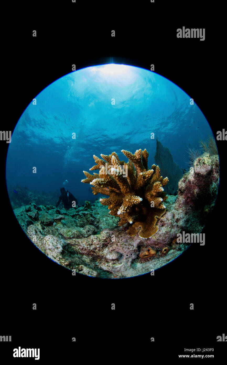 Reef scene with Staghorn coral. Stock Photo